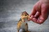 Hungry (hollyzade) Tags: chipmunk animal feeding feed town peanut country hungry focus hand human nikond40 nikon daytime