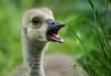 Ich wünsche euch allen frohe Ostertage (ellen-ow) Tags: tier vogel bird gans kanadagans küken tierkinder natur animal niedlich schnabel nikond4 ellenow süs sweet cute gras wiese