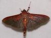 Crambid Moth (Omiodes indicata ?) (berniedup) Tags: belizon roura guyane crambidae moth omiodesindicata taxonomy:binomial=omiodesindicata