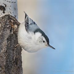 White-brea.ed Nuthatch (Turk Images) Tags: aspenparkland isletlake sittacarolinensis whitebreatednuthatch alberta birds nuthatches sittidae wbnu winter