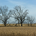 Trees in a Field thumbnail