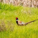 Ring-necked Pheasant thumbnail