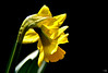 Timidité printanière (Diegojack) Tags: echandens vaud suisse plantes fleurs printemps duo jonquilles lumière