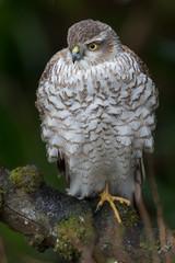 Sparrowhawk, 2nd cal yr female (The Treerunner) Tags: firstwinter sparrowhawk beachroad