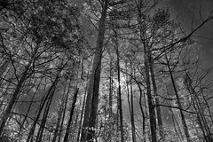 Sunlight Through the Tall Pine Trees (Black & White) (thor_mark ) Tags: blackwhite blueskies canvas capturenx2edited colorefexpro day2 evergreens highbankcanoeaccessparkingarea hillsideoftrees landscape lookingse lookingup lookingupatsky lookingupatskythroughtrees lookingupatskythrutrees lookinguptosky nature nikond800e outside ozarknationalforest ozarkstfrancisnationalforests portfolio project365 silverefexpro2 sun sunshiningthroughtree sunshiningthroughtrees sunthroughtrees sunthroughpinetree sunthroughpinetrees sunny trees treesinwinterwithoutleaves triptoozarknationalforestandmountains arkansas unitedstates