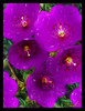 Purple (A Work of Mark) Tags: flowers color topazimpressions layers photoshop blooms