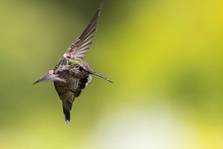 Turning ( Anna's Hummingbird ) 481_0364