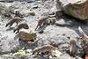 Hungry Meerkat (simonevanbergen) Tags: 2018 beeksebergen netherlands safaripark simonevanbergen spring svb tilburg zoo animals ape bird birdofprey birds cat cats cheetah hyena leopard monkey nature rhino sun tiger wildcat zebra