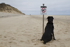 Sign of the Times (brucetopher) Tags: dog pet pets black beach beautiful beauty animal sign warning walking person coast sand lab labrador waterfront walk no dunes dune rules atlantic blackdog coastal shore retreiver labradorretriever times fenced seashore rule tern plover pipingplover beautifuldog protected nopets nodogsallowed terns rescuedog signofthetimes dogrescue protectedspecies flickrfriday louisianarescuedog