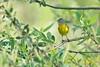 Nashville Warbler (christopheradler) Tags: california nashville warbler oreothlypis ruficapilla