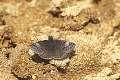 Hespérie givrée / Dreamy Dusky Wing (alainmaire71) Tags: insect lepidoptera lépidoptère papillon hespérie skipper hesperidae erynnisicelus hespériegivrée dreamyduskywing nature quebec canada