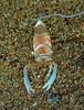 Magnificent Anemone Shrimp (oceanzam) Tags: fish shrimp scuba diving light dark shadow muck travel nature water underwater animal beach shore eyes