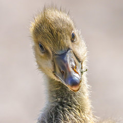 Just can't get my lips to pout (Paul Wrights Reserved) Tags: greylag gosling goslings gorgeous closeup chick chicks baby cute cutie portrait portraitphotography innocent beak eye eyes feather down babybird animals animal animalantics wildlife wildanimal wildlifephotography nature naturephotography look greatphotographers