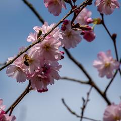 Zierkirsche  mit Biene (p.schmal) Tags: olympuspenf hamburg farmsenberne knospen blüten frühling