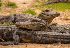 American Alligators (Lindell Dillon) Tags: americanalligator gator herp reptile amphibian nature alligatoralley lindelldillon alabama
