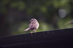 (Girl With Butterfly Wings) Tags: dunnock bird brown british feathers wings perched perching roof gutter raingutter shed garden
