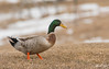 Canard colvert // Mallard Duck (Keztik) Tags: canardcolvert mallard anasplatyrhynchos duck canard oiseau bird wildlife animal nature nikon d7500