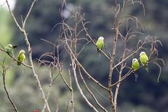 Grey-cheeked Parakeets (S.G.Davis) Tags: uncommon ecuador lowland deciduous parakeet greycheeked