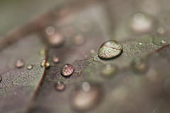Raindrops on Sycamore 1:1 (bascat) Tags: macromondays allnatural macro mondays all natural bascat bas canon cardiff sigma 70mm f28 350d leaf water drops droplets green purple veins bokeh