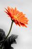 Profile of a Gerbera-SC 6-0 F LR 4-28-18 J146 (sunspotimages) Tags: gerberadaisy gerberadaisies gerberas gerbera flowers flower daisies daisy selectivecolor artwork artistic blackwhite blackandwhite bw orangeflowers orangeflower orange orangegerbera orangegerberas