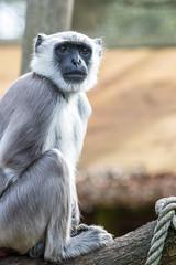 Capture my beauty (Photography by Martijn Aalbers) Tags: monkey ape beast animal mammal aap beest dier life leven zoo dierentuin park parc nature natuur deapenheul apeldoorn gelderland guelders canoneos77d ef70200mmf4lisusm wwwgevoeligeplatennl
