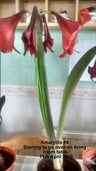 Amaryllis #4 Starting to go over on living room table 11th April 2018 (D@viD_2.011) Tags: amaryllis 4 starting go over living room table 11th april 2018