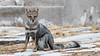 Zorro (Ramiro Francisco Campello) Tags: zorro fox naturaleza argentina buenosaires