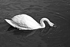 Swan Monochrome (brianarchie65) Tags: eastpark kingstonuponhull cityofculture swans swan water lake reflections wetreflections blackandwhite blackandwhitephotos blackandwhitephoto blackandwhitephotography blackwhite123 monochrome canoneos600d geotagged brianarchie65 flickrunofficial flickruk flickr flickrcentral ukflickr unlimitedphotos ngc
