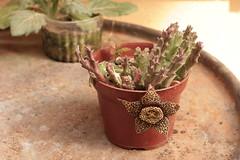 Stapelia variegata - 1 (BlackLotus1987) Tags: stapelia variegata orbea stapeliavariegata orbeavariegata succulent cactus flower flor suculenta supercarenar 135mm f28