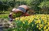 Keukenhof parc (Lisse - Hollande) (Xan Errecart) Tags: fleurs flower printemps spring tulipes