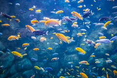 Fishies (A Great Capture) Tags: toronto tank fish aquarium cichlid agreatcapture agc wwwagreatcapturecom adjm ash2276 ashleylduffus ald mobilejay jamesmitchell on ontario canada canadian photographer northamerica torontoexplore torontozoo tropical yellow blue multicolour