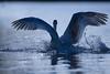 'Empress' (Jonathan Casey) Tags: whitlingham norwich norfolk uk broad broads swan mute landing nikon d850 400mm f28 vr