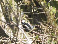 Great spotted woodpecker (petelovespurple) Tags: bird woodpecker woodland ryedale northyorkshire england april spring