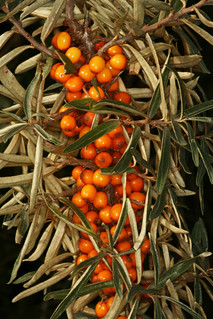 Hippophae rhamnoides, l'argousier ou saule épineux, the seaberry ou sea buckthorn.