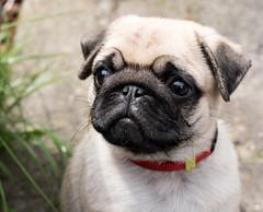 Ollie (evelien noens) Tags: sigma50mmart sigmaartlenses dog pup pupper pug nikond750