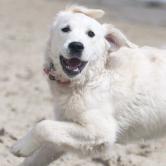 It's fascinating to me how her ears flip & arms & paws 🐾 bend in sync with each other 🐾💕🐾 (Alex Beattie) Tags: althea golden dog california westlake artisanbrandingcom
