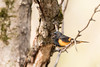 ''Balançoire!'' Paruline flamboyante-American Redstart (pascaleforest) Tags: oiseau bird animal passion nikon wild wildlife faune québec canada bois wood arbre sprimg printemps