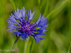 flowers (JosjeToby) Tags: flower flowers flowerpower nature naturephotography macro macrophotography macromood macrodreams sonya6000 color colorfull bokeh bokehandblur blur