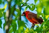Male Northern Cardinal (scottrobart) Tags: male northern cardinal d4