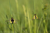 Owlfly (Christian Birzer) Tags: sitzen insekt tier natur makro gelb gras frühling unschärfe nahaufnahme draussen idylle schwarz grün unscharferhintergrund schmetterlingshaft flügel fühler sommer naturschutz flora pflanzenwelt vegetation animal antenna black blur blurredbackground closeup conservation floral grass green insect isolated isoliert macro nature natureconservation natureprotection outdoor owlfly protection sitting spring summer wildlife wings yellow