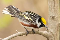 Chestnut sided warbler (Ronda Hamm) Tags: wildlife bird nature migration chestnutsidedwarbler canon biggestweekinamericanbirding mageemarsh 100400mkii 7dii animal
