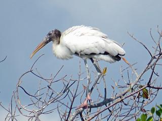 Wood Stork, Paurotis Pond, 060518
