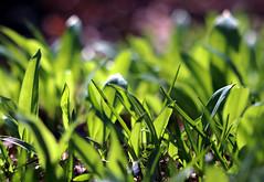 New growth (PJ Swan) Tags: wild garlic green spring growing nature
