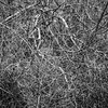 Tangled Web (Explored) (lclower19) Tags: iphone branches winter broken tangled black white bw explored