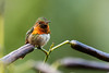 IMG_4619  Scintillant hummingbird (ashahmtl) Tags: scintillanthummingbird bird hummingbird selasphorusscintilla fincalerida boquete panama chiriquiprovince