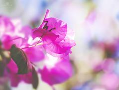 flight of fancy (rockinmonique) Tags: flower bloom blossom petal pink while highkey light bokeh moniquew canon canont6s tamron tamron45mm copyright2018moniquewphotography mazatlan mexico