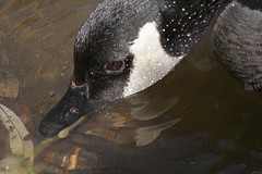 CDA Goose enjoying a sip _MG_4964 (dodochampo) Tags: bird canada goose oiseau outarde bernache eau boire bec beek drinking droplets brown black neck cou ruisseau brasserie