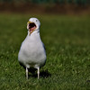 Open wide! (stellagrimsdale) Tags: gull mouth openmouth bird grass field