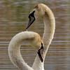 Mute Swan RSPB Silverdale F00176 D210bob  DSC_7366 (D210bob) Tags: muteswan rspbsilverdale f00176 d210bob dsc7366 nikond7200 lancashire birdphotography birdphotos leightonmoss naturephotography naturephotos nikon nikon200500f56 rspb wildlifephotography
