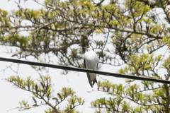DSC_0945.jpg Violet-green Sparrow, Schwan Lake (ldjaffe) Tags: schwanlake twinlakes violetgreenswallow